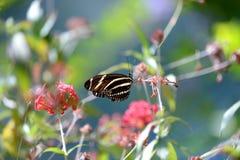 SebraLongwing fjäril Arkivfoto