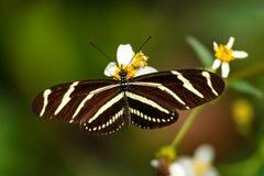 SebraLongwing fjäril (den Heliconius charithoniaen) arkivfoto