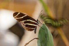 SebraLongwing fjäril på ökenträdbladet Arkivbild