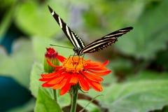 SebraLongwing fjäril som får nektaret arkivbilder