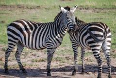SebraMasai Maasai Mara National Reserve Africa Arkivbild