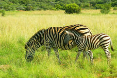Sebramoder och föl i den Pilanesberg nationalparken, Sydafrika Royaltyfria Bilder