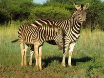 Sebramoder och kalv i den Kruger nationalparken arkivbilder