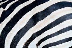 Sebranärbilddetalj av pälslaget, konstsikt på den afrikanska naturen Djurliv i Sydafrika Svart päls med vita linjer royaltyfri bild