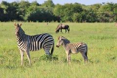 Sebran - djurliv från Afrika - djuret behandla som ett barn Arkivbild