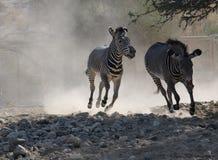 Sebran jagar en annan sebra i ett dammigt fält Royaltyfri Foto