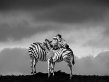 Sebraservice i Afrika Arkivbilder