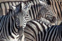Sebrastående i Etosha, Namibia Arkivbilder
