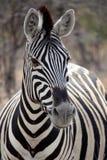 Sebrastående i Etosha, Namibia Fotografering för Bildbyråer