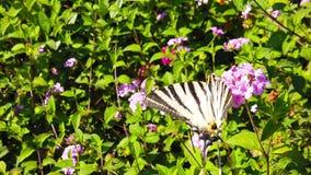 SebraSwallowtail fjäril på LantanaCamara Flowers 01 ultrarapid