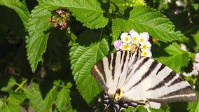 SebraSwallowtail fjäril på LantanaCamara Flowers 08 ultrarapid
