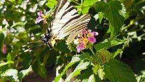 SebraSwallowtail fjäril på LantanaCamara Flowers 10 ultrarapid