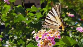 SebraSwallowtail fjäril på LantanaCamara Flowers 07 ultrarapid
