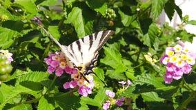 SebraSwallowtail fjäril på LantanaCamara Flowers 04 ultrarapid