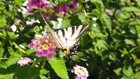 SebraSwallowtail fjäril på LantanaCamara Flowers 03 ultrarapid