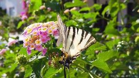 SebraSwallowtail fjäril på LantanaCamara Flowers 05 ultrarapid