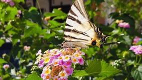 SebraSwallowtail fjäril på LantanaCamara Flowers 06 ultrarapid