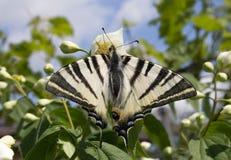 SebraSwallowtail fjäril (Protographium marcell Royaltyfria Bilder
