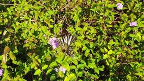 Sebraswallowtailfjäril på ultrarapid för lantanacamarablommor