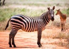 Sebror i gräslandskapet av savannahen av Kenya royaltyfri foto