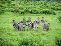 Sebror i nationalpark av Tanzania. Royaltyfria Bilder