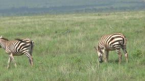 Sebror i Savannah Safari i Kenya arkivfilmer