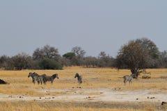 Sebror i savannahen arkivfoton