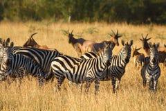 Sebror i Serengeti Arkivbild