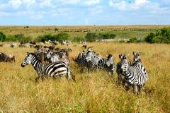 Sebror Masai Mara Arkivfoto