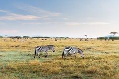 Sebror och andra djur i savannah på africa Arkivbilder