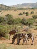 Sebror och antilop i Sydafrika royaltyfri bild