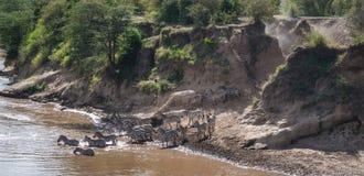 Sebror och gnu under flyttning från Serengeti till Masai M royaltyfria foton