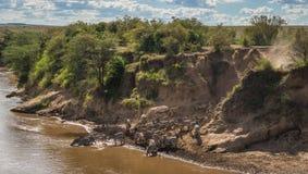 Sebror och gnu under flyttning från Serengeti till Masai M arkivbild