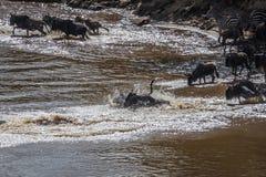 Sebror och gnu under flyttning från Serengeti till Masai M royaltyfri foto