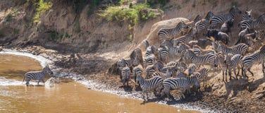 Sebror och gnu under flyttning från Serengeti till Masai M royaltyfri bild