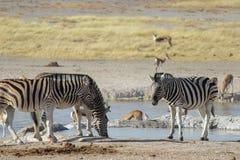 Sebror och springbockdricksvatten i en waterhole i den Etosha nationalparken royaltyfri fotografi
