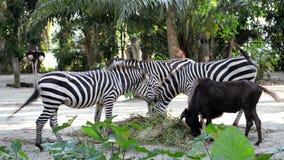 Sebror som äter gräs i zoo stock video