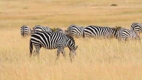 Sebror som äter gräs, Masai Mara stock video