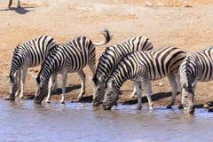 Sebror som dricker i Etosha Parc Namibia Arkivfoton