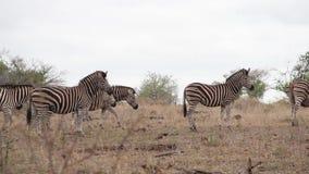 Sebror som går omkring i den afrikanska vildmarken arkivfilmer