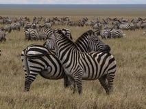 Sebror som håller ögonen på i Serengeti Royaltyfria Bilder