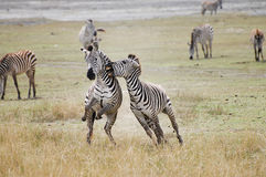 Sebror som slåss - den Ngorongoro krater - Tanzania royaltyfria foton