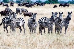 Sebror tillsammans i Serengeti, Tanzania Afrika, grupp av sebror mellan gnu fotografering för bildbyråer