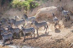 Sebror under flyttning från Serengeti till Masai M royaltyfria bilder
