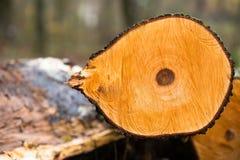 Secção transversal do tronco de árvore Fotografia de Stock Royalty Free