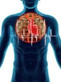 Secção transversal humano da batida de coração ilustração do vetor