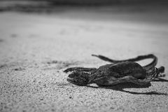 Sec vers le haut de Marine Iguana Images libres de droits
