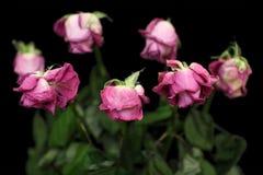 Sec vers le haut des roses Photos libres de droits