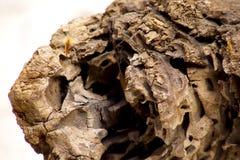 Seca de Textura de tronco de Madera fotos de archivo libres de regalías