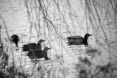 Secado acima dos ramos da queda com os patos no fundo fotografia de stock royalty free